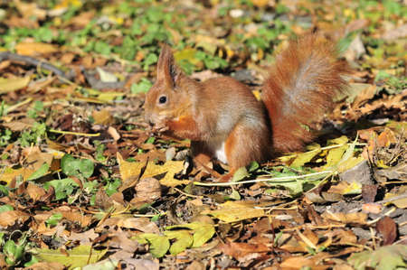 squirrel: Squirrel gnaws walnut. Squirrel - a rodent of the squirrel family.