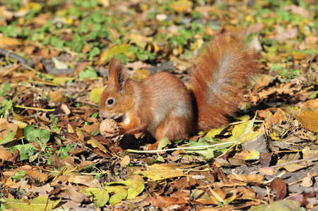 gnaw: Squirrel gnaws walnut. Squirrel - a rodent of the squirrel family.