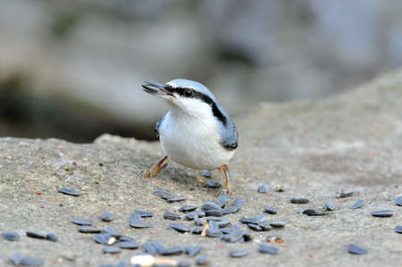 passerine: The Eurasian nuthatch or wood nuthatch is a small passerine bird found throughout temperate Asia and in Europe, where it is often referred to just as the nuthatch.