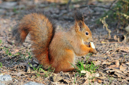 gnaw: The red squirrel or Eurasian red squirrel is a species of tree squirrel in the genus Sciurus common throughout Eurasia. Stock Photo