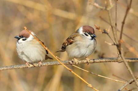 2 november: Sparrows sitting on a branch. The Eurasian tree sparrow Stock Photo