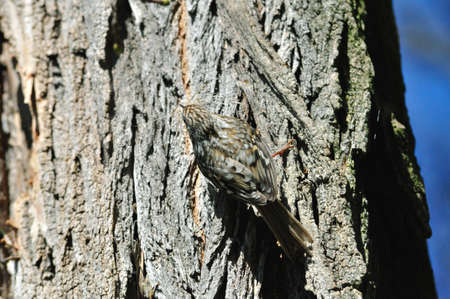 discreto: The Eurasian treecreeper or common treecreeper (Certhia familiaris)
