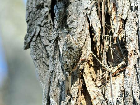 discreto: El treecreeper Eurasia o treecreeper común (Certhia familiaris)