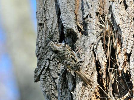 familiaris: The Eurasian treecreeper or common treecreeper (Certhia familiaris)