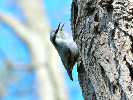 discreto: Eurasian nuthatch. The Eurasian nuthatch or wood nuthatch is a small passerine bird found throughout temperate Asia and in Europe. Foto de archivo