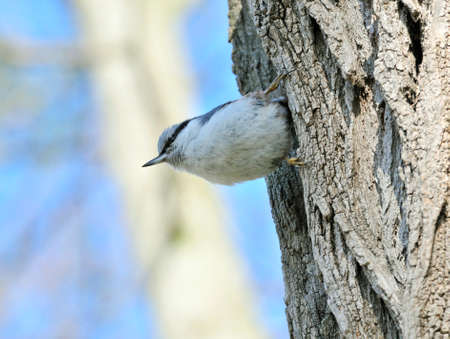 passerine: Eurasian nuthatch. The Eurasian nuthatch or wood nuthatch is a small passerine bird found throughout temperate Asia and in Europe. Stock Photo