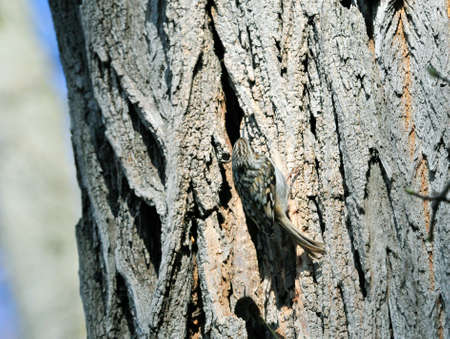 familiaris: The Eurasian treecreeper or common treecreeper (Certhia familiaris)