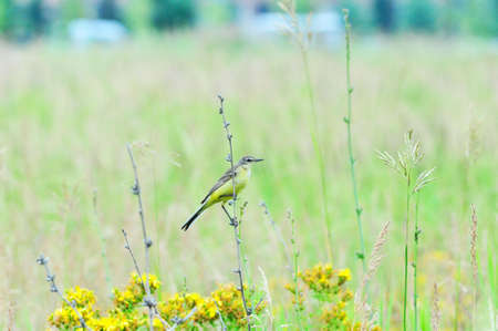 territory: Western yellow wagtail.Yellow Wagtail - small slender bird motacillidae family that lives in the vast territory of Europe, Asia, Africa and Alaska.