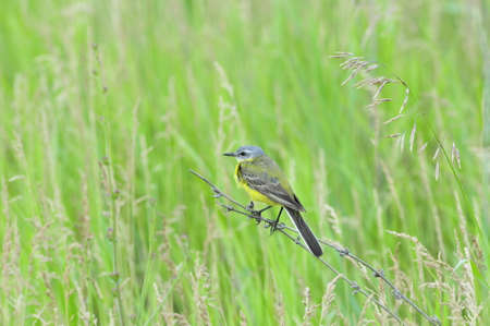 Western yellow wagtail.Yellow Wagtail - small slender bird motacillidae family that lives in the vast territory of Europe, Asia, Africa and Alaska.