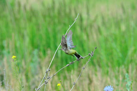 motacillidae: Western yellow wagtail.Yellow Wagtail - small slender bird motacillidae family that lives in the vast territory of Europe, Asia, Africa and Alaska.
