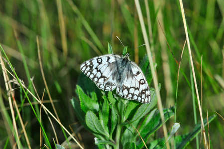 glades: The marbled white is a butterfly in the family Nymphalidae.
