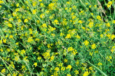 medicago: Lucerne, alfalfa. Medicago lupulina - normally an annual herbaceous plant species of the genus of Medicago, family Fabaceae. (This plant is also called: black medick, nonesuch, or hop clover) Stock Photo