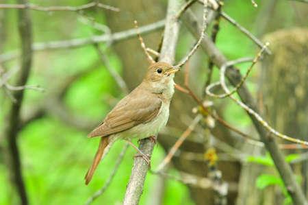 The thrush nightingale, sprosser.