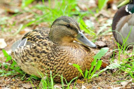 A mallard, a female, lies on the grass. Stock Photo
