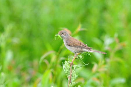 tatarstan: Northern wheatear, bird, female. Bird of the flycatcher family. The bird made a nest on the stony bank of the river.