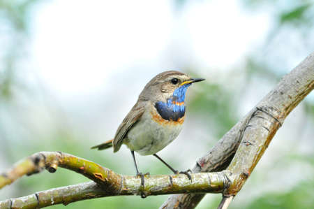 Bluethroat, bird, male. The Bluethroat is a bird of the family of thrush detachment of passerine.