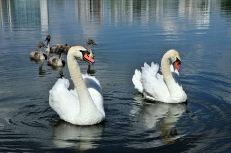 Mute swan - a bird from the family of ducks. A married couple of swans with chicks. Stock Photo