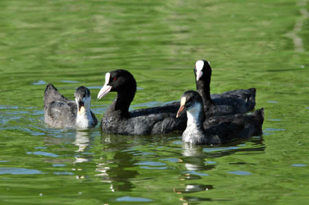 Eurasian coot, bird - a small waterfowl. Rail bird. Adult wild bird and chicks (ducklings). Stock Photo