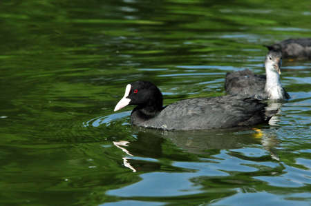 Eurasian coot, bird - a small waterfowl. Rail bird.