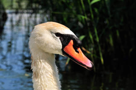outgrowth: Mute swan - a bird from the family of ducks.
