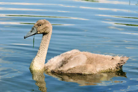Mute swan - a bird from the family of ducks, chicks, young bird.