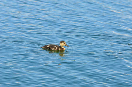Mallard is a bird of the duck family detachment of waterfowl. Duckling Mallard sails alone. Stock Photo