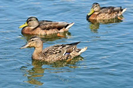 Mallard is a bird of the duck family detachment of waterfowl. Stock Photo