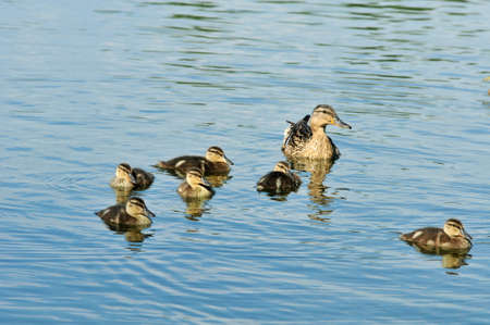 Mallard - bird of the duck family (Anatidae) detachment of waterfowl. Mallard female and ducklings. Stock Photo