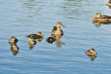 Mallard - bird of the duck family (Anatidae) detachment of waterfowl. Mallard female and ducklings. Stock Photo