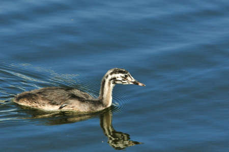 reproduction animal: The great crested grebe is a member of the grebe family of water birds. Nestling, young bird.