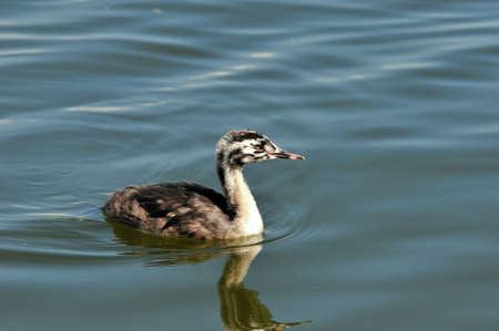 continuation: The great crested grebe is a member of the grebe family of water birds. Nestling, young bird.