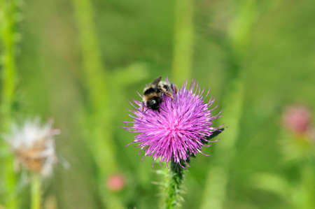 Carduus is a genus of flowering plants in the aster family, Asteraceae. A bee collects nectar on a flower of a thistle.