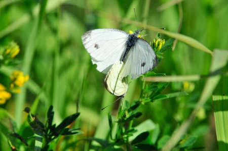 pieris: Pieris brassicae, the large white cabbage, cabbage butterfly, cabbage white, cabbage moth, large cabbage white, is a butterfly in the family of Pieridae. Male and female, butterflies in the breeding season.