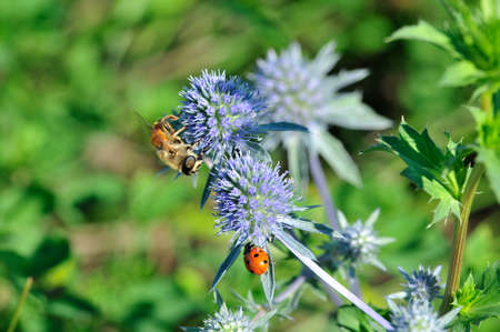 Eryngium planum, known as or blue eryngo, or flat sea holly, is a species of flowering plant in the family Apiaceae. Hoverflies, sometimes called flower flies, or syrphid flies.