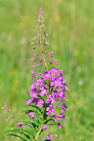 Save Download Preview Flower, plant.Chamaenerion angustifolium, Chamerion angustifolium. Fireweed, great willowherb, rosebay willowherb.