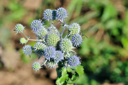 Eryngium planum, known as or blue eryngo, or flat sea holly, is a species of flowering plant in the family Apiaceae.