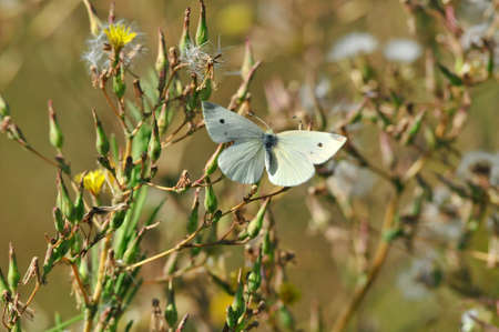 Pieris brassicae, the large white cabbage, cabbage butterfly, cabbage white, cabbage moth, large cabbage white, is a butterfly in the family of Pieridae.