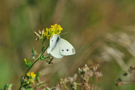 Pieris brassicae, the large white cabbage, cabbage butterfly, cabbage white, cabbage moth, large cabbage white, is a butterfly in the family of Pieridae.