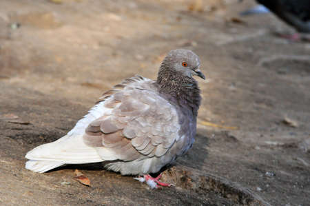 Pigeon. Dove. The large bird genus Columba consists of a group of medium to large stout-bodied pigeons, often referred to as the typical pigeons.