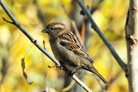 The Eurasian tree sparrow. A bird sitting on a branch.