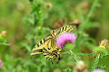 Swallowtail butterfly, Old World swallowtail. Swallowtail butterfly drinks nectar from a thistle flower plant.