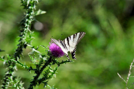 The Scarce Swallowtail it is also called Sail Swallowtail or Pear-tree Swallowtail.Podalirius (Latin Iphiclides podalirius) - Butterfly sailboats family (Papilionidae). Stock Photo