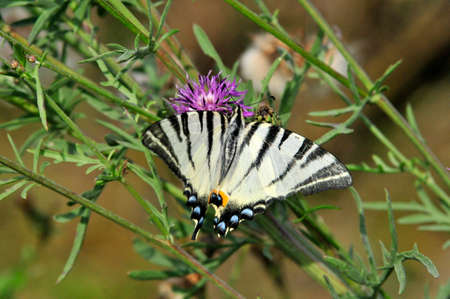 The Scarce Swallowtail it is also called Sail Swallowtail or Pear-tree Swallowtail.Podalirius (Latin Iphiclides podalirius) - Butterfly sailboats family (Papilionidae). 版權商用圖片