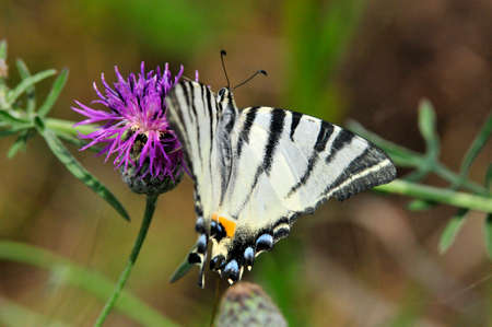 The Scarce Swallowtail it is also called Sail Swallowtail or Pear-tree Swallowtail.Podalirius (Latin Iphiclides podalirius) - Butterfly sailboats family (Papilionidae). Фото со стока