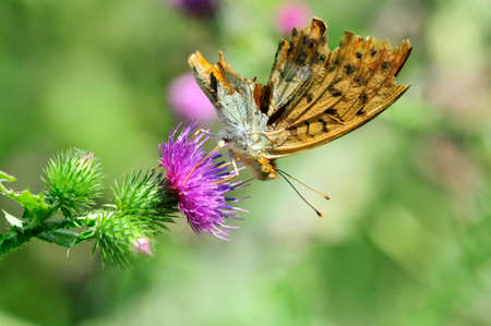 The silver-washed fritillary (Argynnis paphia) butterfly. Butterfly wings are damaged. Butterfly drinks nectar from a thistle flower plant.