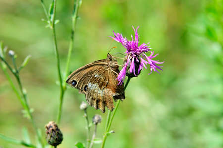 Minois dryas, the dryad, is a butterfly of the family Nymphalidae. Centaurea scabiosa or greater knapweed is a perennial plant of the genus Centaurea. Archivio Fotografico