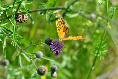 The silver-washed fritillary (Argynnis paphia) butterfly. Centaurea scabiosa or greater knapweed is a perennial plant of the genus Centaurea.
