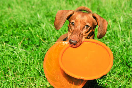 Dog breed standard smooth-haired dachshund, bright red color. Dog running with flying saucer. Dog playing. Dog for a walk. 免版税图像