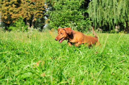The dog runs along the grass, the dog follows the trail. A dog of the breed is a standard smooth-haired dachshund, the color is red. Stockfoto