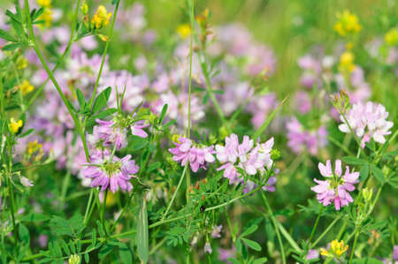Meadow flowers, meadow herbs. Fragaceae of Astragalus danicus, known as purple milk-vetch, is a species of flowering plant in the family.